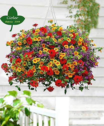 CIOLER Seed House - 100pcs mezcla de Flores Verbena Calibrachoa lobelia Raras patio Plant Semillas De Flor, semillas exótico perennes resistentes Ideal colgar cestas, jardineras, camas y cenefas