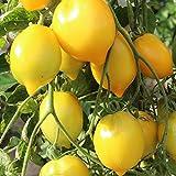 10 Samen Citrina Tomate – robuste Sorte, festes Fruchtfleisch