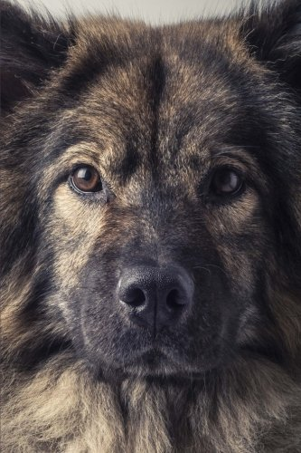 cool-eurasier-dog-close-up-portrait-journal-150-page-lined-notebook-diary