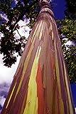 30 Samen Regenbogen Eucalyptus - Eucalyptus deglupta - **Das Naturwunder**