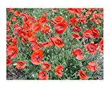 Klatschmohn - Flander-Mohnblume - Mohn American Legion - Blume - 3000 Samen