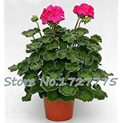 50 / BAG RARE Garten Blumensamen, Samen Geranie Blumensamen, Balkon Topfblumen
