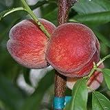 Pfirsichbaum Amsden, robuster Pfirsich, Buschbaum, ca. 120-150 cm, im 10 Liter Topf, Prunus pumila
