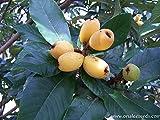 SwansGreen 5 semi freschi nespola, Susino giapponese, Frutta tropicale, Eriobotrya Japonica Seeds