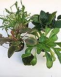 5 Vordergrund Set Wasserpflanzen Sortiment Aquarienpflanzen Wasserpflanzen
