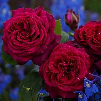 Stark duftende rote Edelrosen 'Gräfin Diana' - Rose des Jahres 2017!– Rosenblüte in rot-violett – winterharte Edelrose im 5 Liter Container von Garten Schlüter - Pflanzen in Top Qualität