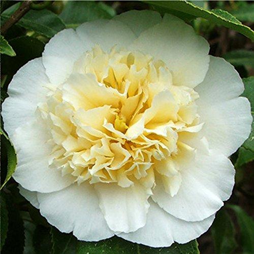 3-x-camellia-williamsii-jurys-yellow-bushy-evergreen-shrub-hardy-plant-in-pot