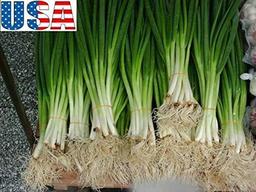 PLAT FIRM GRAINES DE GERMINATION: 400 graines: USA SELLER White Spear Bunching/graines d'oignon vert HEIRLOOM NON OGM