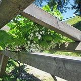 Weißblühender Blauregen - Schnellwachsende Kletterpflanze
