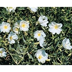 JustSeed Blume Oenothera Dreimasterblume Unschuld 175 Samen