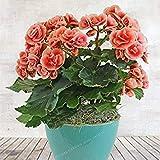 Fash Lady Schlussverkauf!100 Samen/Los MIX Begonia Samen 100% Wahre Malus Spectabilis Samen Topf Begonie Bonsai Pflanze Diy Samen 6