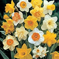 The bulb season is getting late now, hence the price reduction. Mixture of colours of Narcissi, yellow, orange, white, red. Will grow to 30-45cms. They can be planted in the garden or into pots to have on the patio or in the house to provide some ear...
