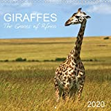 Giraffes - The Graces of Africa 2020: Follow these majestic animals through the savannahs of Africa. (Calvendo Animals)