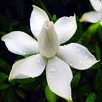 BigFamily 50 Unids / 3g Cabo Jazmín Gardenia Semillas Fragante Fácil Cultivar Semillas de Plantas de Jardín de Casa