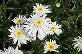 Leucanthemum x superbum 'Christine Hagemann' - 3 Pflanzen im 0,5 lt. Vierecktopf