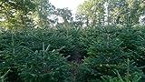 Echter Premium Weihnachtsbaum Nordmanntanne Tannenbaum Christbaum frisch geschlagen 1. Wahl in verschiedenen Größen lieferbar (150-175 cm)