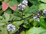 Pfefferminz - Echte Pfefferminze (Mentha × piperita) ca 100 Samen -Leckeren Tee selbst pflanzen-