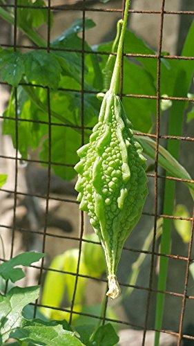 10 Graines fraîches Melon amer (Wild Fruits courtes)