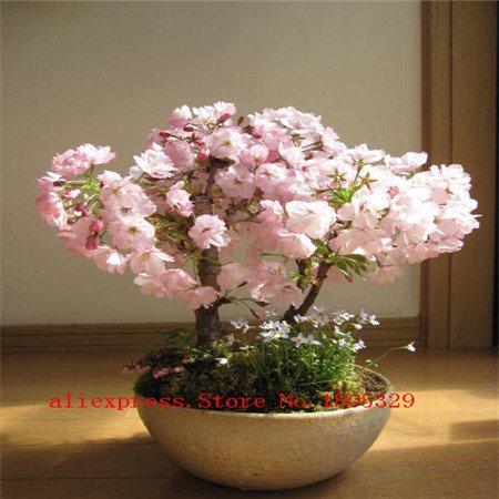 10pcs / lot japonais graines de sakura, bonsaï fleurs de cerisier
