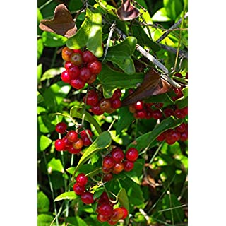 Portal Cool 5 Sarsparilla Seeds Smilax Aspera -American Grown
