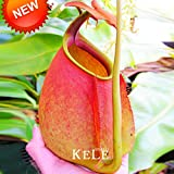 Big Sale! 50 Graines / Sac Nepenthes enceintes Graines Balcon pot Bonsai plantes Semences Bonsai Carnivores Plantes, # 7D31MB