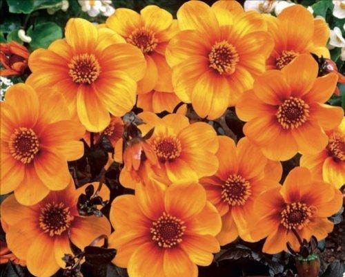 dahlia-bulb-tuber-bronze-leaf-sunshine-top-quality-wpc-prins-summer-bulbs