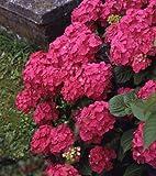 Gartenhortensie. Strauch. rot blŸhend. 1 StŸck - zu dem Artikel bekommen Sie gratis ein Paar Handschuhe fŸr die Gartenarbeit dazu
