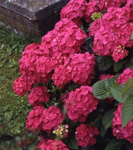 Gartenhortensie. Strauch. rot blühend. 1 Stück - zu dem Artikel bekommen Sie gratis ein Paar Handschuhe für die Gartenarbeit dazu