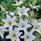 Asiatische Lilien Weiß - 2 Lilien-Zwiebeln - Lilium Zierpflanze, Liliengewächs Blumenzwiebeln zum Pflanzen, farben-frohe Blüten, mehrjährig, winterhart von Garten Schlüter
