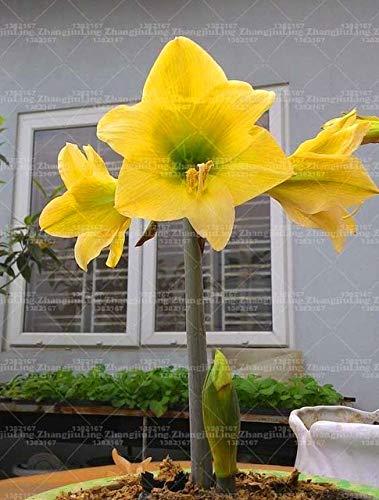 Idea high semi-1 big bulb doppio petali amaryllis bulbi perenne giardino bonsai bulbi da fiore, hippeastrum fiori lily piante in vaso: 1