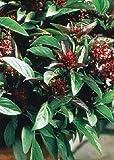 Tropica - Kräuter - Thai - Basilikum (Ocimum basilicum) - 200 Samen
