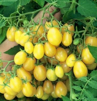 100 pcs/paquet Précipité nouvelles Plantes d'extérieur Promotion Jardin semences de tomates en pot fruits Bonsai Balcon de semences de légumes 13