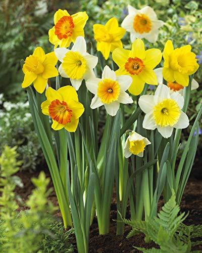 Hardy Garten (PLAT FIRM GERMINATIONSAMEN: 5 weiterten Misch Daffodil Mix Birnen Garten Hardy Perennial Fall Narcissus Bee-Birne)