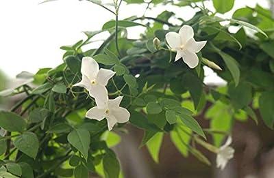 Kräuterey : Jasmin, echter - Jasminum officinalis - Pflanze - Bioland von Kräuterey bei Du und dein Garten