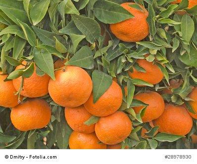 citrus-reticulata-tangerine-mandarin-tree-10-fresh-seeds