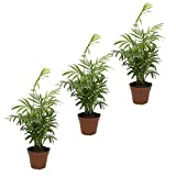 Zimmerpalme, (Chamaedorea elegans) breitblättrig, 12cm Topf ca. 40cm hoch 3 Pflanzen