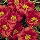50+ RUBY JEWEL MOSS ROSE PORTULACA ANNUAL SUCCULENT Bodendecker Blumensamen