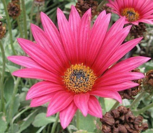 15x Arctotis acaulis Bärenohr Samen Pflanze Frisch Garten Zimmer Neu Blume B677