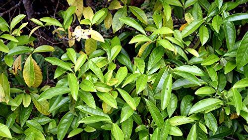 Asklepios-seeds® - 15 seeds of Camellia sinensis assamica, Assam tea, tea plant, black tea