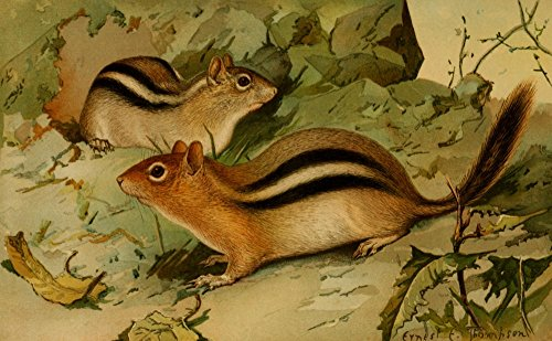 ee-thompson-north-american-fauna-1938-golden-mantled-ground-squirrel-artistica-di-stampa-6096-x-9144