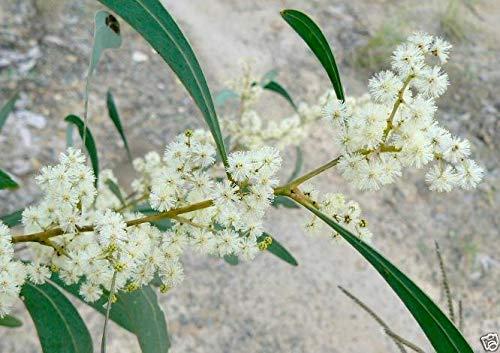 Portal Cool Hickory Flechtwerk Samen Trockenheit/Frost Hardy Mutterevergreen Kleiner Baum