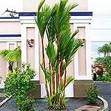 Germinazione I Semi: 10 Red sigillatura Cera di Palma Rossetto Palm -Cyrtostachys Renda- Fresh