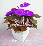 Neue Samen Samen Saatgut fraã ® ches, Gummi-Samen Flamingoblume andraeanu, Rauchen L & # 39; Air Pur formaldã © Hyde, 100pcs/Paket,