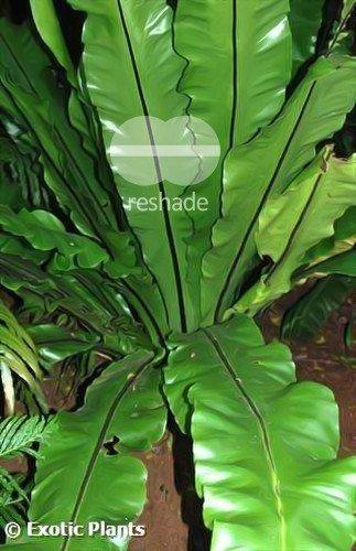 Asplenium nidus - Nestfarn - 100 Samen
