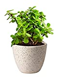 The Bonsai Plants - Good Luck Jade Real Live Plant (Feng Shui Plant) in Free White Ceramic Pot