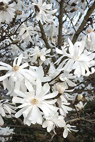 Sternmagnolie Sternmagnolie, Magnolia