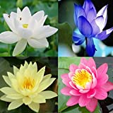 Rare Mixed Lotus Seeds Water Lily Fragrance Aquatic Flowers 10 Seeds