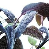 Bio Purpursalbei Kräuterpflanze