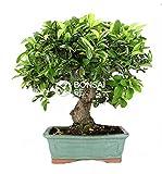 Bonsai - Espino de fuego, 14 Años (Bonsai Sei - Pyracantha)