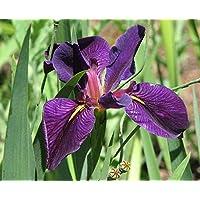 PLAT FIRM Germination Les graines PLATFIRM-5 graines de Iris Noir Gamecock Louisiane